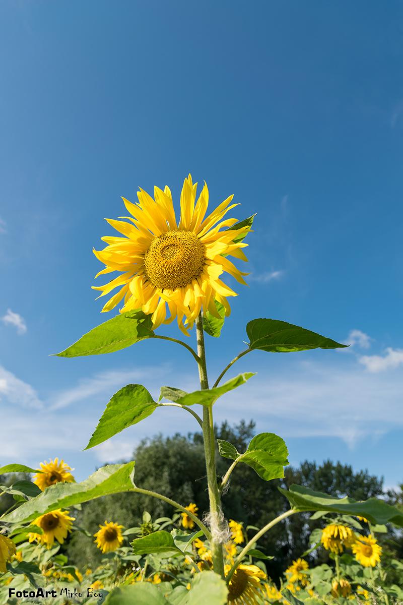 Sonnenblume - Fototouren