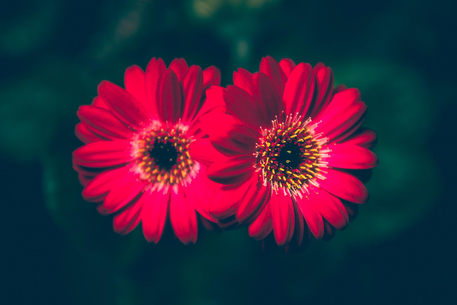 Blume Gerbera - Fototouren
