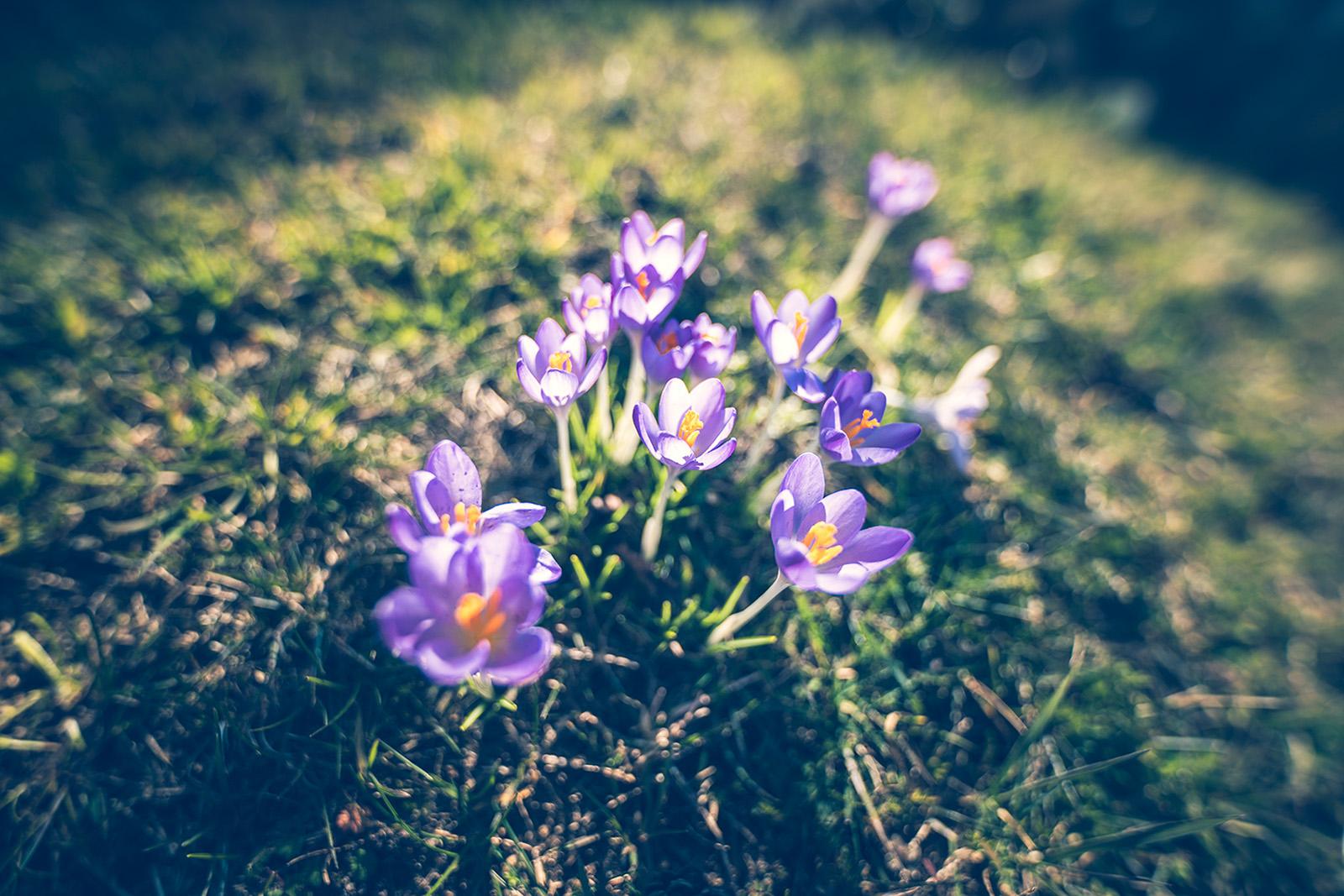 Blume Krokus - Fototouren