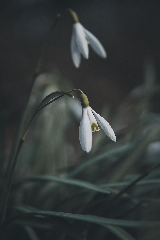 Blume Schneeglöckchen - Fototouren