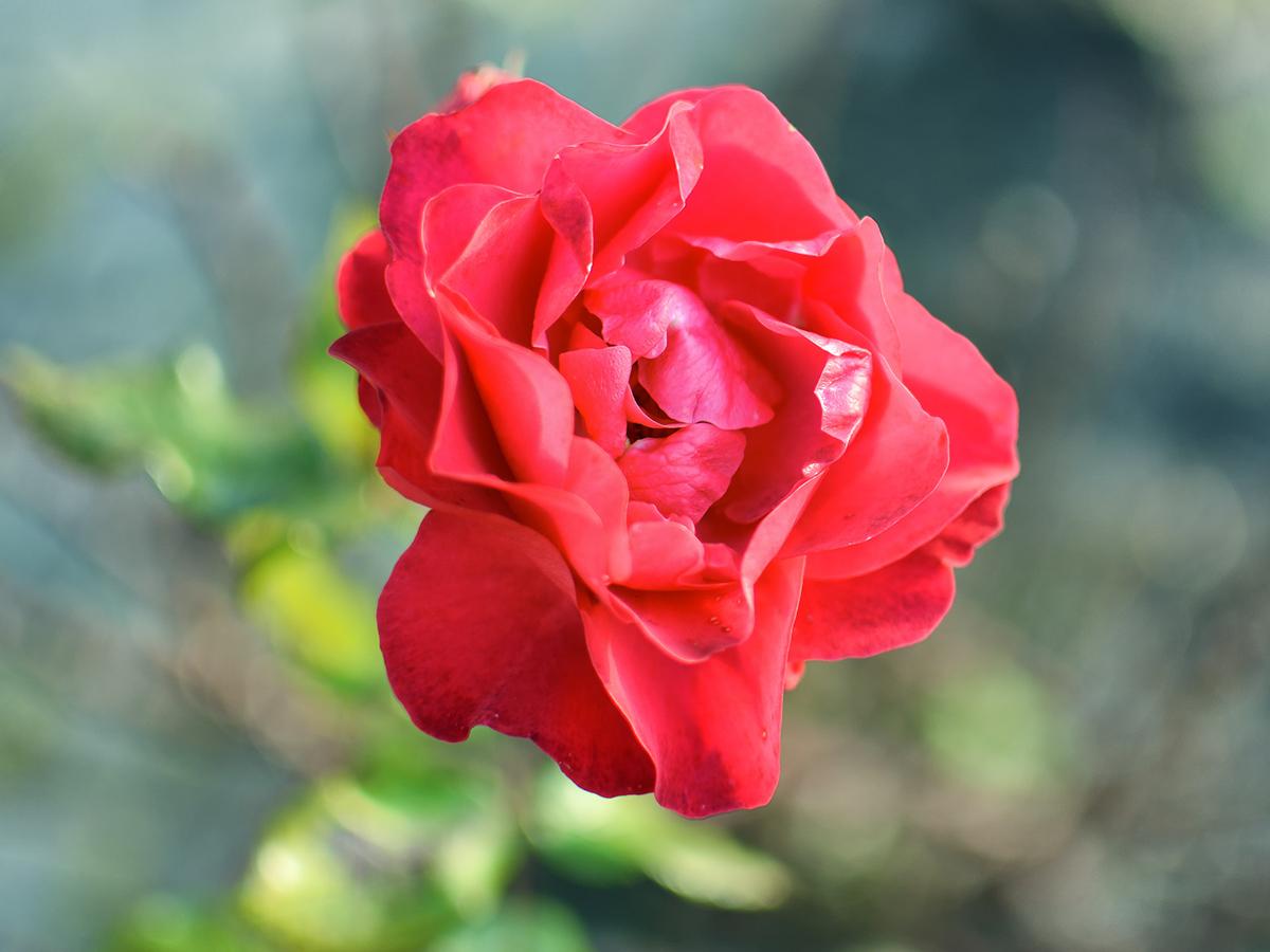 Rose Detail - Fototouren